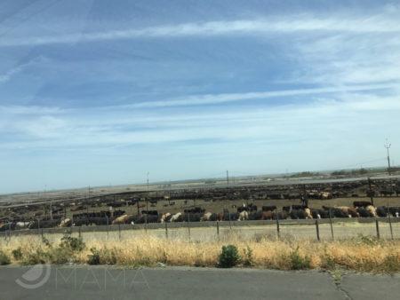 Coalinga cows